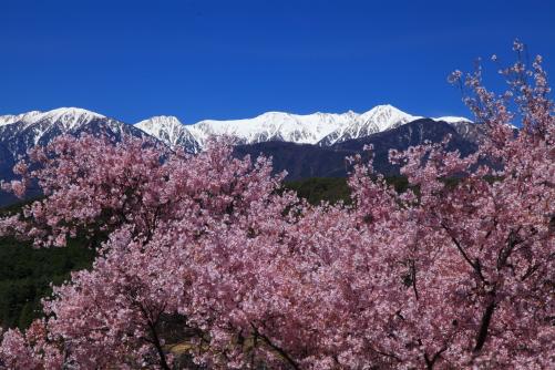 彼岸桜と宝剣岳