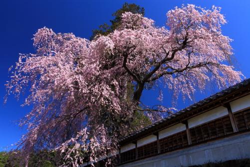 青空に映える彼岸桜と塀