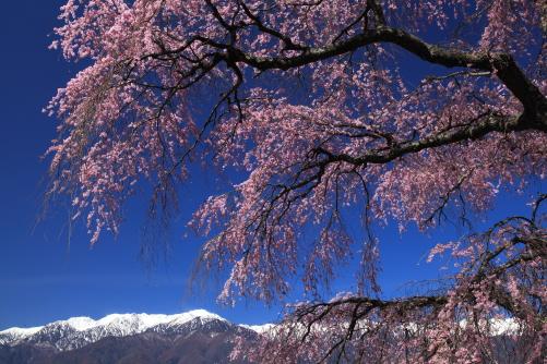 彼岸桜と空木岳