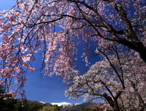 競う爛漫の桜花と宝剣岳