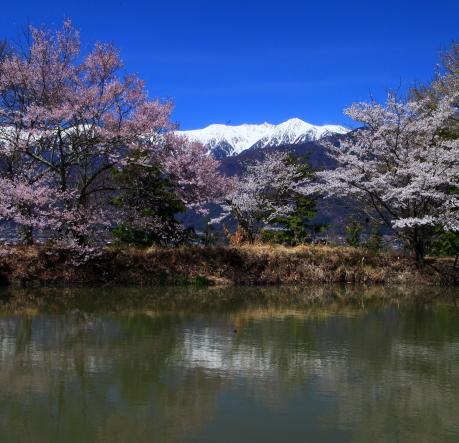 堤の桜と宝剣岳