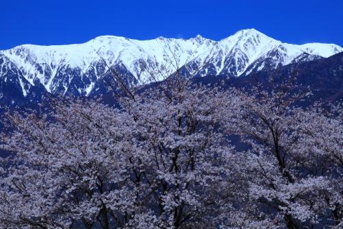 宝剣岳と桜