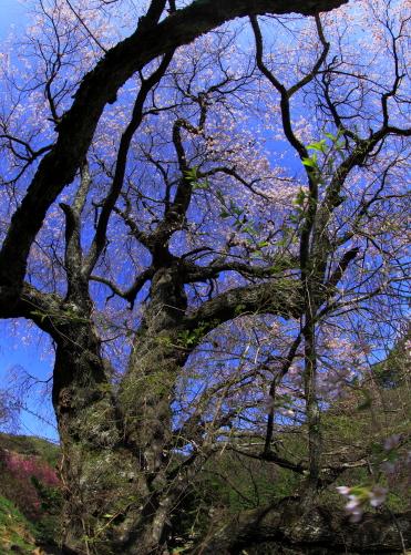 ベニシダレの古木
