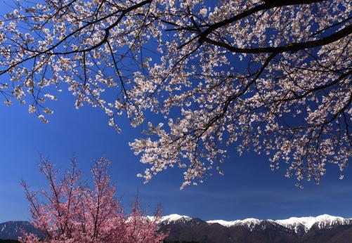青空に映える桜と白銀の中央アルプス