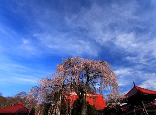 雲わく常福寺の桜風景