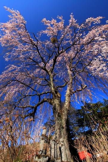 石仏と彼岸桜