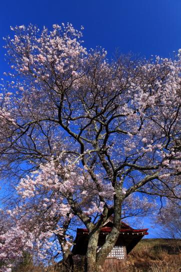 青空に映えるお堂と彼岸桜
