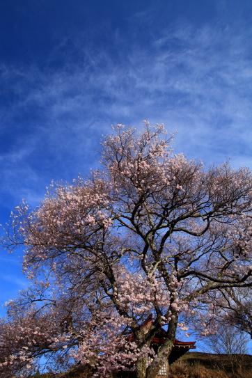 青空に雲の映える桜花