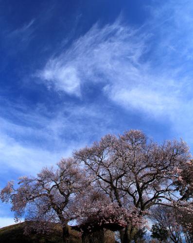 竜雲わく桜花の光景