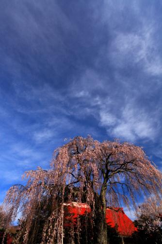 青空に雲の映える常福寺本堂としだれ桜