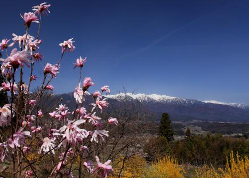 モクレンの花と中央アルプス