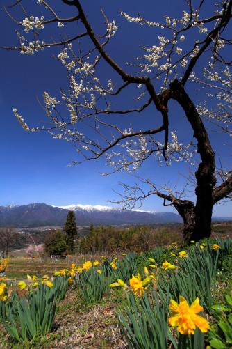 白梅と水仙と中央アルプス