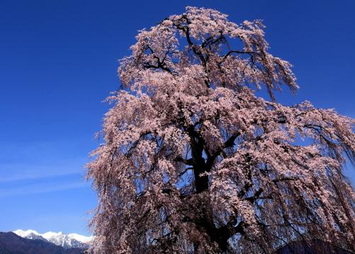 大島の彼岸桜と南駒ヶ岳三山