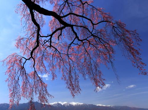 青空にしだれ桜と空木・南駒・仙涯嶺