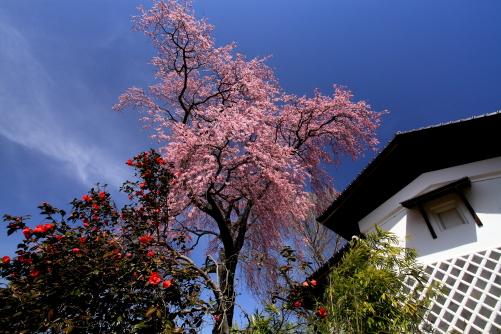 漆喰の蔵としだれ桜と椿