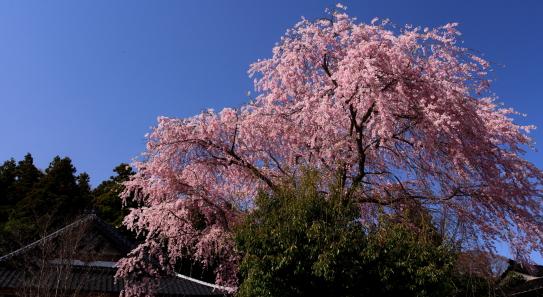 瓦屋根と桜
