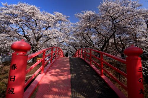 春日公園の桜