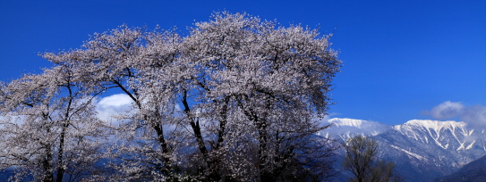 桜と常念岳