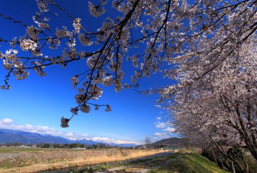 川に沿う並木の桜と北アルプス