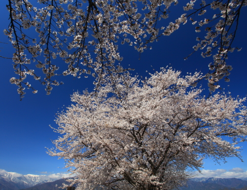 早春賦のふるさと穂高川桜並木の桜