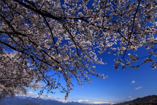 穂高川桜並木から鹿島槍・爺ヶ岳