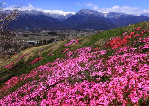 芝桜と有明山