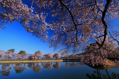 湖面に映える桜