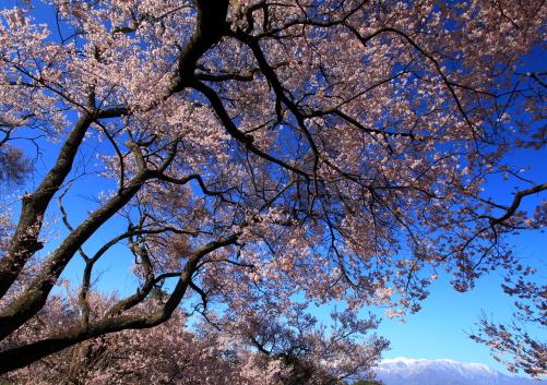 桜爛漫に西駒ヶ岳