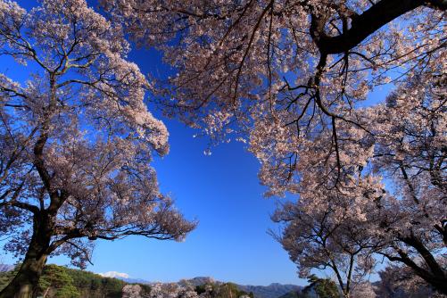 青空に爛漫の桜と仙丈ヶ岳