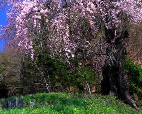 長谷溝口笠松のしだれ桜と石仏
