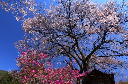 青空に映える桜とツツジ