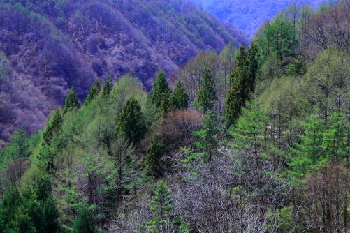 萌える若葉のカラマツ林