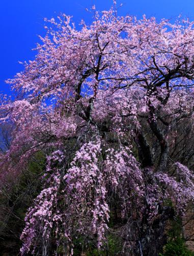 しだれ桜の銘木