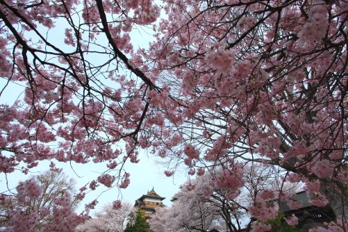 満開の桜と天守閣