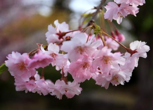 可憐な桜の花