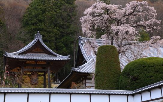 藩松院の桜