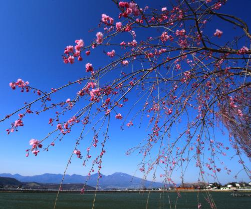 大池から望む浅間山と枝垂桜