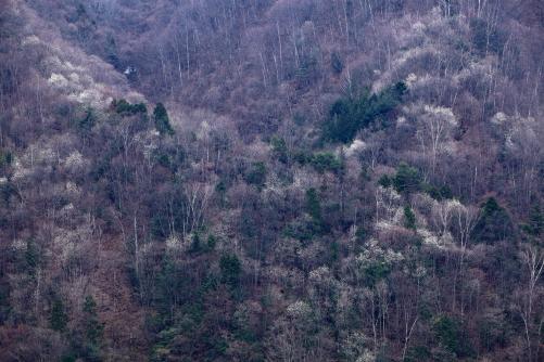 ミブシ咲く木曽の山