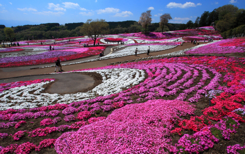 ピンクの丘