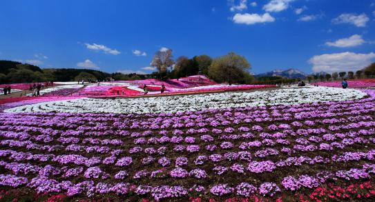 みさと芝桜公園-Ⅱ