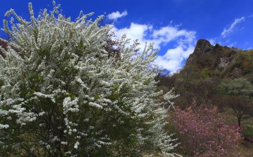 ユキヤナギと岩峰
