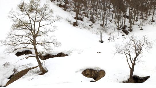残雪のブナ林