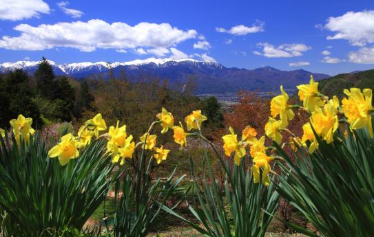 スイセンの咲く丘から中央アルプスを望む