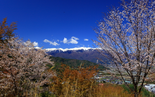 高遠町の高台から望む桜と中央アルプス