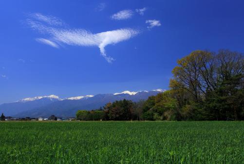飛翔雲の映える麦畑と西駒ヶ岳