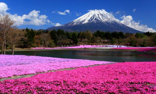 芝桜咲く霊峰富士