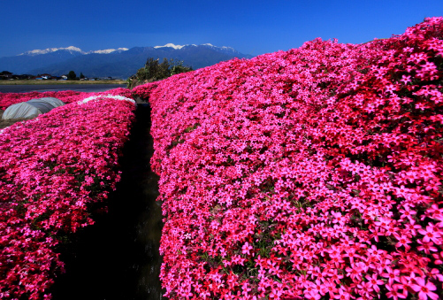 芝桜と西駒ヶ岳