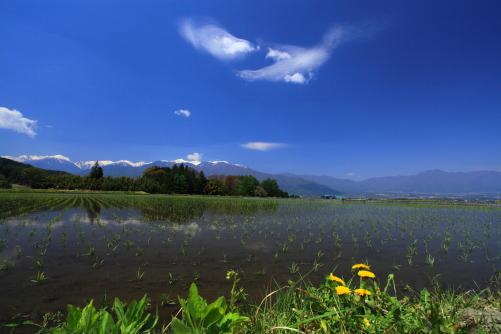 青空に浮かぶ雲と早苗の水田と西駒ヶ岳