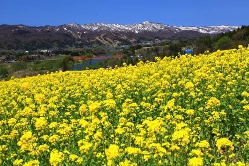 菜の花畑と千曲川と関田山脈