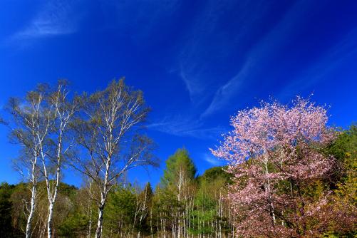 白樺と山桜と青空に雲